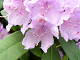 L�gga Rhododendron pussel